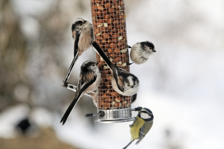 Long-tailed tit, Aegithalos caudatus, group of birds on peannut feeder, West Midlands Stock Photo
