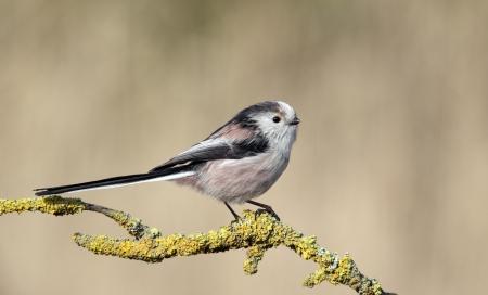 Long-tailed tit, Aegithalos caudatus, single bird on branch,Midlands