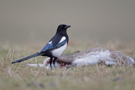 pica: Magpie, Pica pica, single bird with dead rabbit, West Midlands