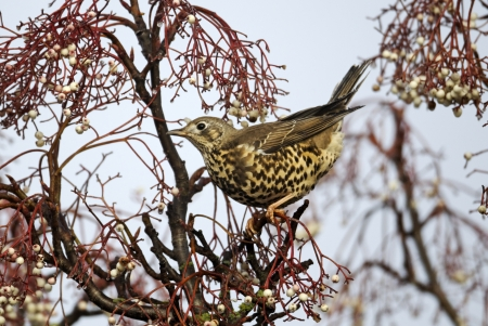 Mistle thrush, Turdus viscivorus, single bird feeding on rowan berries, Midlands