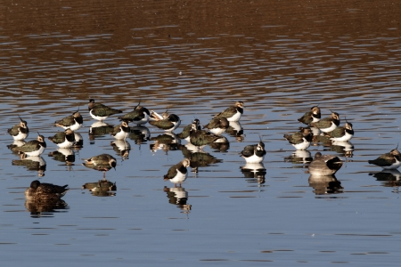 lapwing: Northern lapwing, Vanellus vanellus, flock standing in water, Norfolk