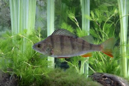 Perche, Perca fluviatilis, seul poisson dans l'eau, Midlands Banque d'images