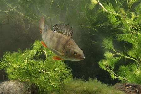 perca: Perch, Perca fluviatilis, single fish in water, Midlands
