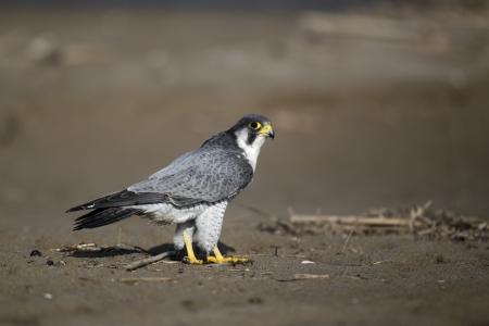 falco peregrinus: Peregrine, Falco peregrinus, single bird on beach, Western Spain
