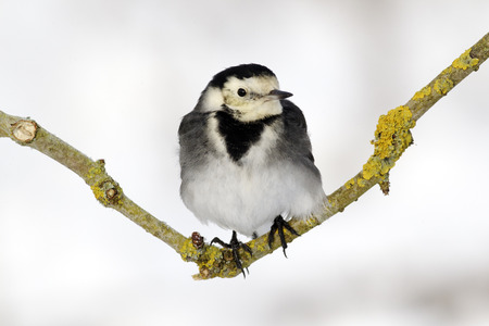 Pied wagtail, Motacilla alba yarrellii, single bird on branch in snow, West Midlands photo