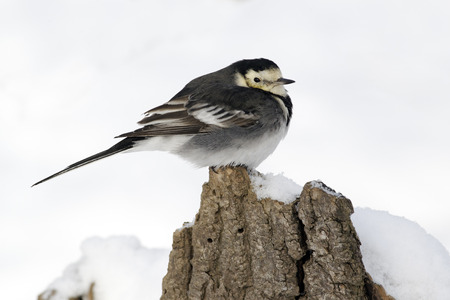wagtail: Pied wagtail, Motacilla alba yarrellii, single bird on branch in snow, West Midlands, December 2010
