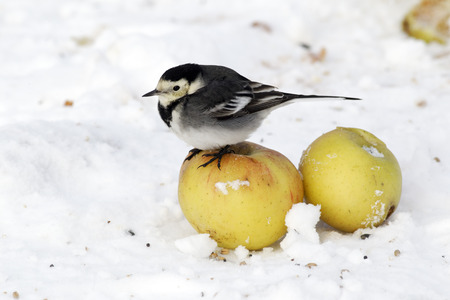 Pied wagtail, Motacilla alba yarrellii, single bird on apples in snow, West Midlands, December 2010 photo