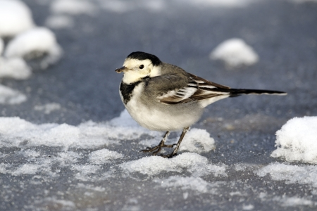 Pied wagtail, Motacilla alba yarrellii, single bird on ice, Midlands, December 2010 photo