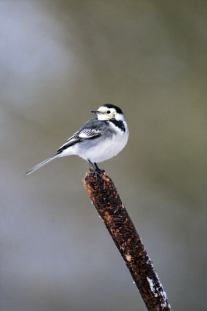 Pied wagtail, Motacilla alba yarrellii, single bird on reed head, Midlands, December 2010 photo