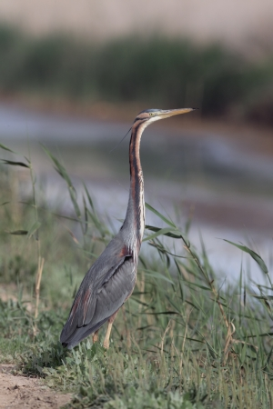 Purple heron, Ardea purpurea, single bird in grass by water, Western Spain     photo