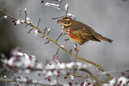 turdus: Redwing, Turdus iliacus, single bird feeding on frosty hawthorn berries, Midlands Stock Photo