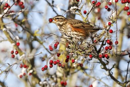 thrush: Redwing, Turdus iliacus, single bird feeding on frosty hawthorn berries, Midlands, December 2010