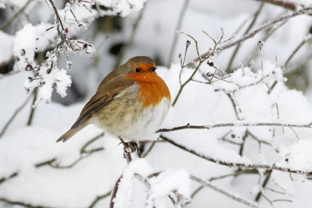 Robin, Erithacus rubecula, single bird in snow, West Midlands Stockfoto