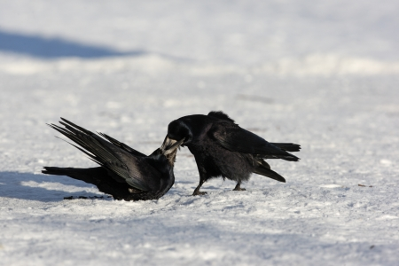 frugilegus: Rook, Corvus frugilegus, two birds standing on snow and courtship feeding, Lothian, Scotland