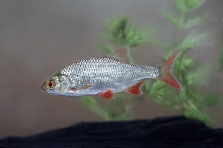 scardinius: Rudd, Scardinius erythrophthalmus, single fish, Midlands Stock Photo