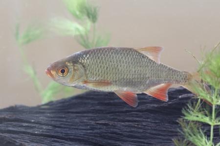 Rudd, Scardinius erythrophthalmus, single fish, Midlands Stock Photo