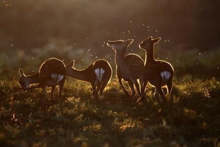 nippon: Sika deer, Cervus nippon, group of deer Stock Photo