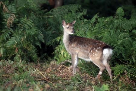 nippon: Sika deer, Cervus nippon, single deer