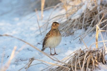 lothian: Skylark, Alauda arvensis, single bird standing in frozen grass and snow, Lothian, Scotland Stock Photo