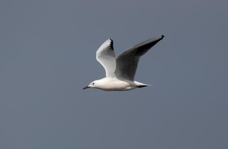 Slender-billed gull, Larus genei, single bird in flight against sky, Western Spain