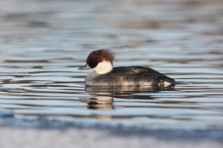 lothian: Smew, Mergellus albellus, single female swimming, Lothian Stock Photo