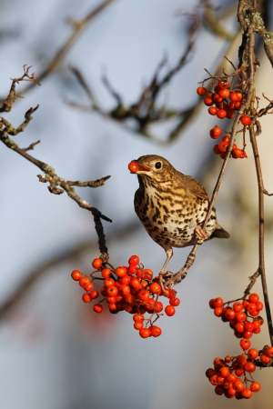 song bird: Song thrush, Turdus philomelos, single bird on rowan berries,  West Midlands Stock Photo