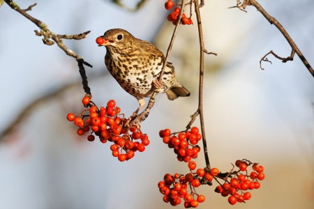 hedgerow: Song thrush, Turdus philomelos, single bird on rowan berries,  West Midlands Stock Photo