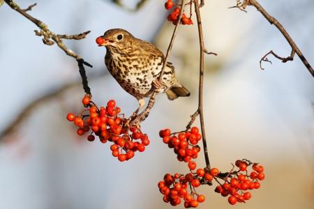 Song thrush, Turdus philomelos, single bird on rowan berries,  West Midlands Stock fotó