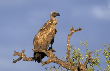 gyps: African White-backed vulture, Gyps africanus, single bird on branch