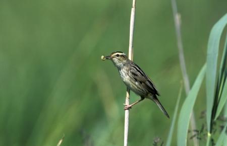 aquatic bird: Aquatic warbler, Acrocephalus paludicola, single bird on reed stem, Poland, May