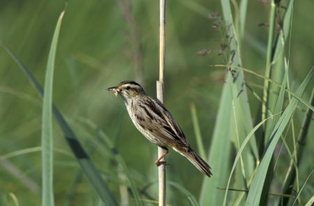 aquatic bird: Aquatic warbler, Acrocephalus paludicola, single bird on reed stem, Poland