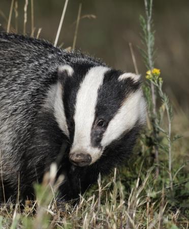 nocturnal: Badger, Meles meles, single animal head shot, Midlands