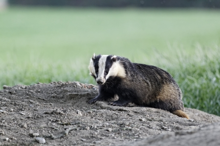 Badger, Meles meles, single mammal at dusk, Wales