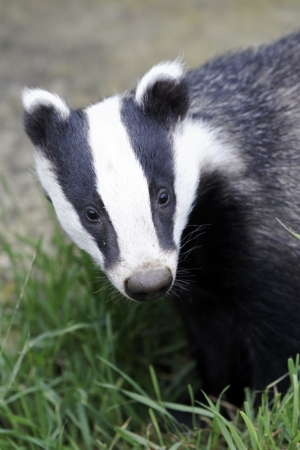 captive animal: Badger, Meles meles, single animal head shot, Captive