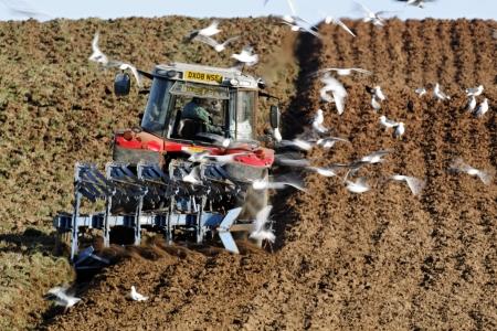 Black-headed gulls, Chroicocephalus ridibundus, flock of bird behind tractor with a few Herring Gulls, Shropshire, November 2011