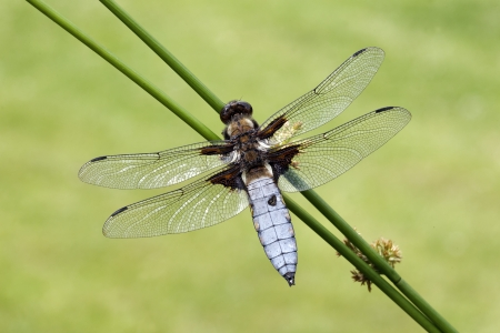 libellula: Broad-bodied chaser, Libellula depressa, single insect, Midlands Stock Photo
