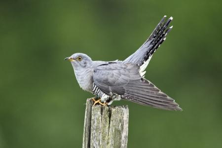 un coucou: Coucou, Cuculus canorus, oiseau unique sur le post, Midlands