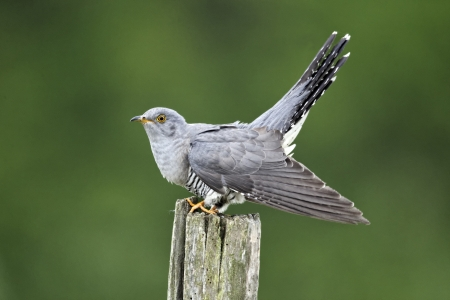 canorus: Cuckoo, Cuculus canorus, single bird on post, Midlands
