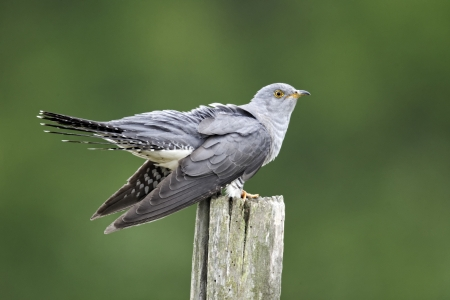 Cuckoo, Cuculus canorus, single bird on post, Midlands