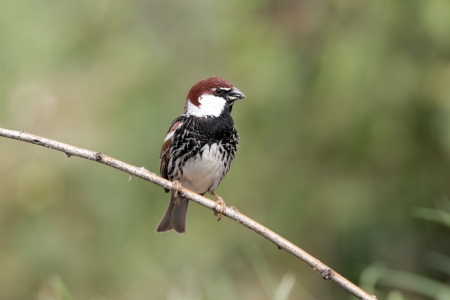 passer    by: Spanish sparrow, Passer hispaniolensis, single male perched on branch, Bulgaria