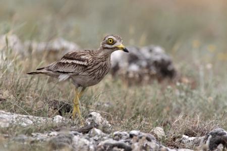 石クールー、Burhinus oedicnemus、草地、ブルガリアで一羽の鳥
