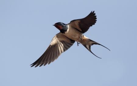 urban wildlife: Swallow, Hirundo rustica, single bird in flight against blue sky,    Portugal Stock Photo