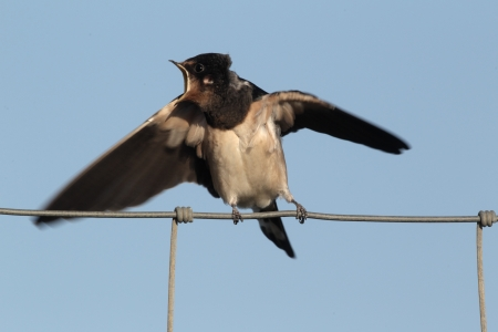 Swallow, Hirundo rustica, single immature bird sitting on a wire fence begging for food against a blue sky. Portugal  photo