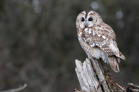 tawny owl: Tawny owl, Strix aluco, single bird on stump, captive bird in Gloucestershire