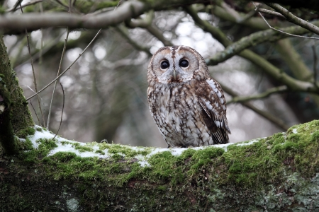Tawny owl, Strix aluco, single bird on branch, captive bird in Gloucestershire, winter 2010