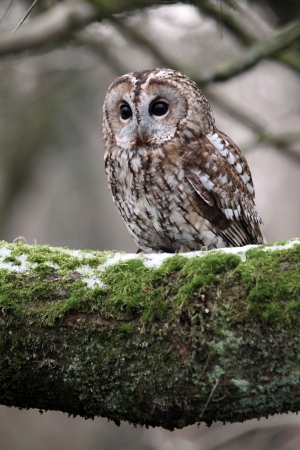 tawny owl: Tawny owl, Strix aluco, single bird on branch, captive bird in Gloucestershire                   Stock Photo