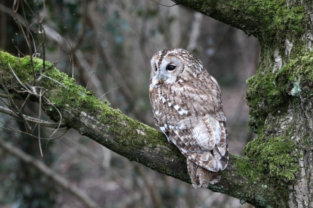 tawny owl: Tawny owl, Strix aluco, single bird on branch, captive bird in Gloucestershire