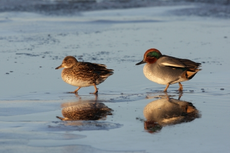lothian: Teal, Anas crecca, two birds male and female walking on ice, Lothian, Scotland
