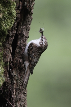 familiaris: Treecreeper, Certhia familiaris, single bird on tree at nest entrance, Midlands Stock Photo