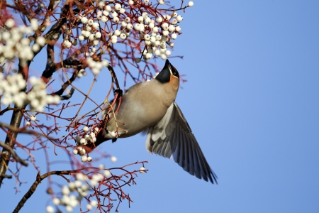 garrulus: Waxwing, Bombycilla garrulus, single bird feeding on rowan berries, Midlands